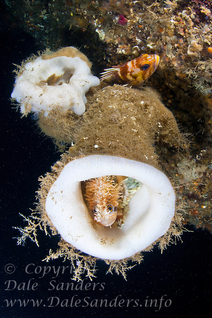 Decorated Warbonnet ( Chirolophis decoratus) hides inside a Boot Sponge ( Staurocalyptus dowlingi), underwater in the Strait of Georgia, British Columbia, Canada.