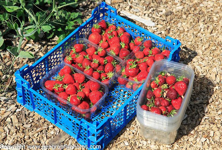 Freshly picked strawberries vegetable garden, Sissinghurst castle gardens, Kent, England, UK