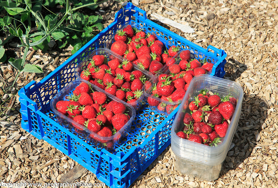Freshly picked strawberries vegetable garden, Sissinghurst castle gardens, Kent, England, UK