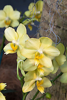 Phalaenopsis Anthura Gold yellow flowers Moth Orchids