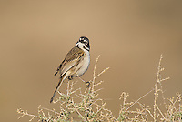 578830017 a wild sage sparrow amphispiza belli nevadensis perches on a sagebrush branch in kern county california