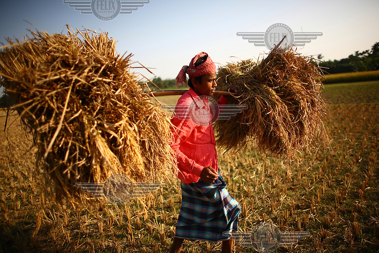 35 year old Bokul Mia harvesting rice in Rajanagar. He received a microfinance loan from IFAD (International Fund for Agricultural Development).