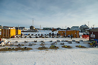 Dogs rest comfortably in the dog lot in Nome on Thursday March 19, 2015 during Iditarod 2015.  <br /> <br /> (C) Jeff Schultz/SchultzPhoto.com - ALL RIGHTS RESERVED<br />  DUPLICATION  PROHIBITED  WITHOUT  PERMISSION