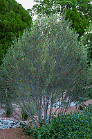 Cercocarpus ledifolius, Curl-leaf mountain mahogany native shrub in New Mexico backyard garden, design by Judith Phillips