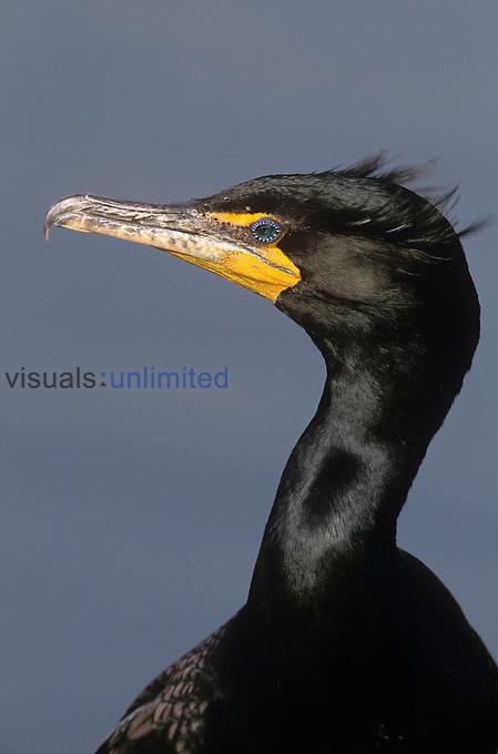 Double-crested Cormorant head (Phalacrocorax auritus), North America.