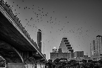 Another image in black and white of the Austin bat watch which is a favorite thing to do for most of the year. People come down and stand on the Congress Ave Bridge and watch as millions of bat come out around dusk to feed on the insects. It is a spectcal to be seen and the bats are nice too!