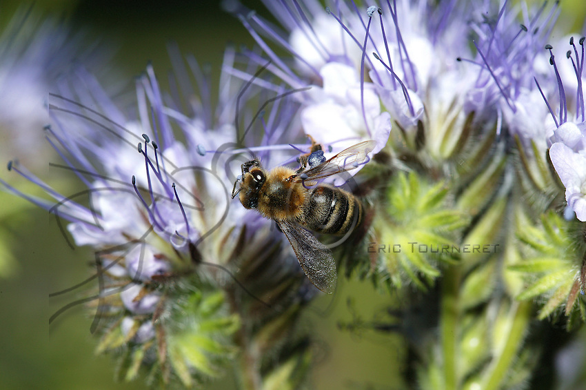 At the center of a Phacelia flower, a bee extends its tongue from its proboscis to suck the nectar from this fallow-field flower..
