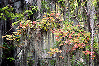 Swamp Maple with Spanish Moss