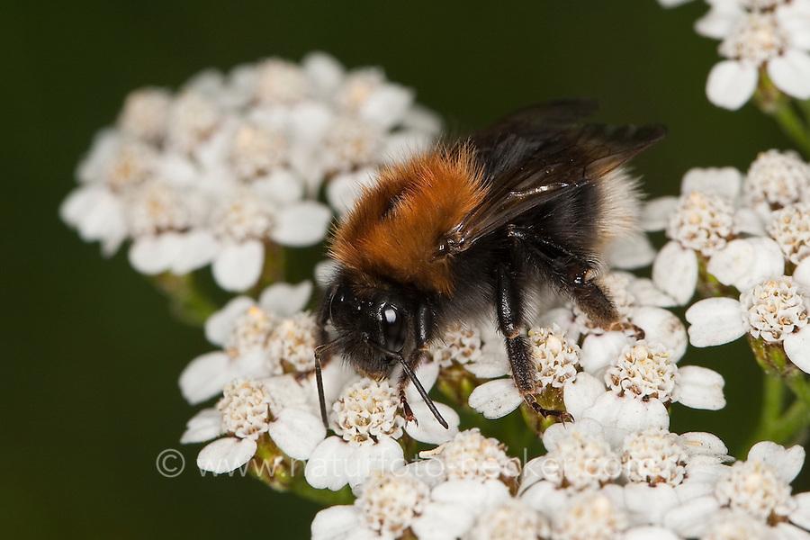 Baumhummel, Baum-Hummel, Blütenbesuch auf Schafgarbe, Bombus hypnorum, Pyrobombus hypnorum ericetorum, Psithyrus hypnorum, new garden bumblebee, tree bumblebee, bumble-bee