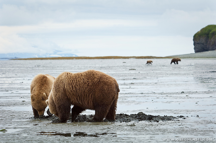 Brown Bears venture out onto tidal flats in search of clams at low tide. Summer at McNeil River Bear sanctuary in Southwest Alaska.