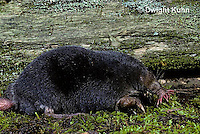MB01-012z  Star-nosed Mole - adult searching for food - Condylura cristata