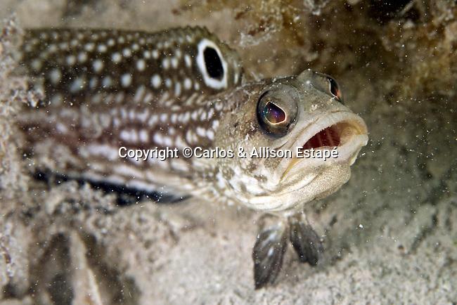Opistognathus robinsi, Spotfin jawfish, Florida Keys