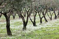 Europe/Provence-Alpes-Côte d'Azur/83/Var/Iles d'Hyères/Ile de Porquerolles: Oliveraie -Oliviers du Conservatoire botanique national méditerranéen de Porquerolles, plus de 110 variétés d'oliviers, sur l'île de Porquerolles