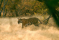 Originally the hunting ground of Jaipur's maharajas, Ranthambhore National Park in Rajasthan was declared a protected Tiger Reserve in 1973. Ranthambhore is situated at the confluence of the Aravali Hills and the Vindhyan plateau and considered one of the best national parks in the country to spot the endangered tiger..