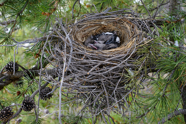 Clark's Nutcracker (Nucifraga columbiana) nest and chicks in a lodgepole pine. Teton County, Wyoming. May.