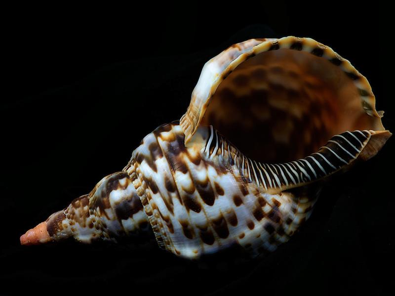 Close up of Noble Triton sea shell.