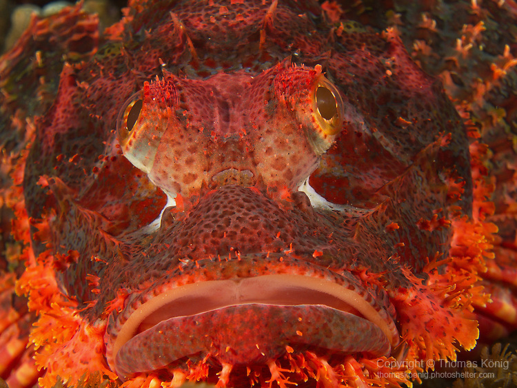 Dragon Gate Rock Reef (Long Men Yan Jiao), Green Island -- Close-up of a rather large red scorpionfish waiting for prey.