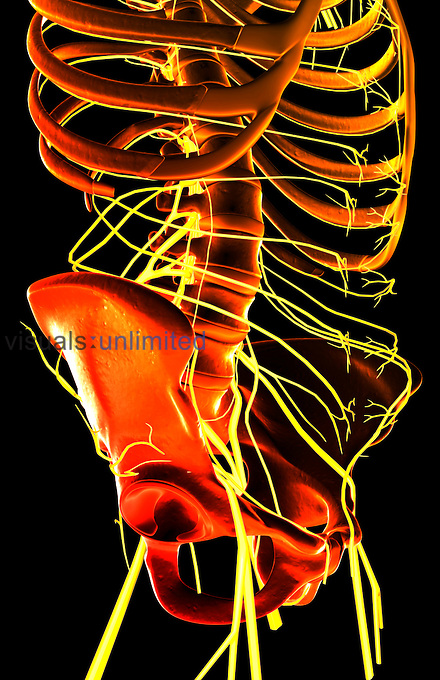 An inferior, anterolateral view (right side) of the nerves of the lumbar and sacral plexuses relative to the skeleton. Royalty Free