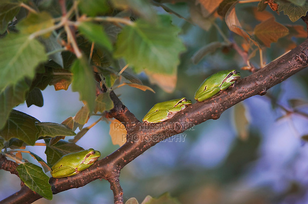 Common Tree Frog, Hyla arborea, adults resting, National Park Lake Neusiedl, Burgenland, Austria, Europe