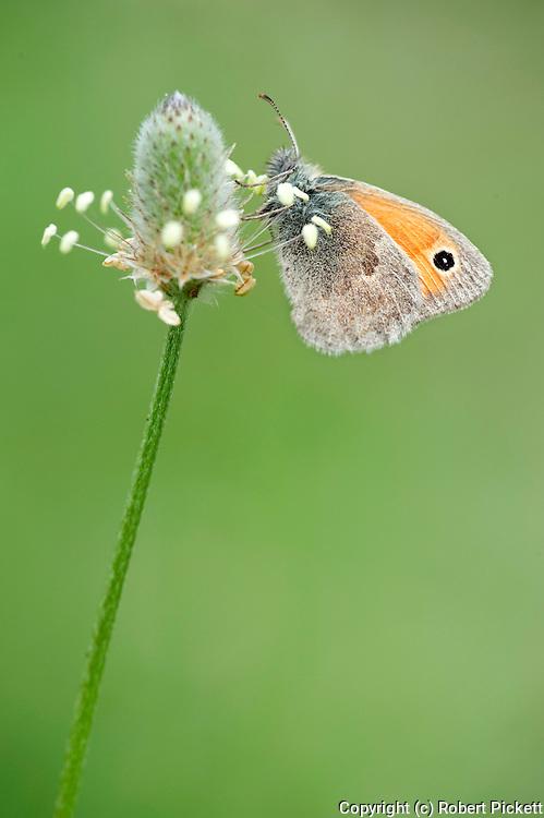Small heath butterfly, Coenoympha pamphilus, Resting on grass seed head, Lesvos Island Greece , lesbos
