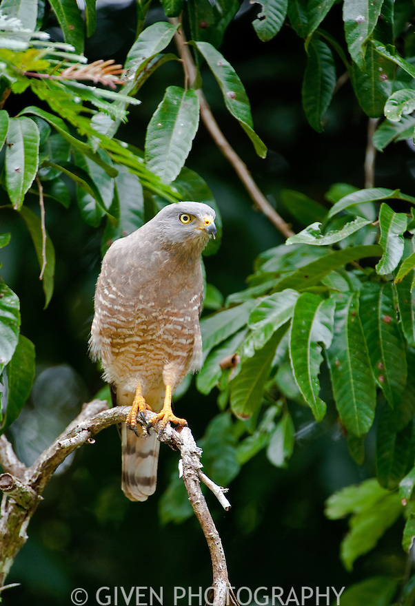 Roadside Hawk, Belize