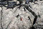 Marine iguanas and a sally lightfoot crab lay along a crevice in the Galapagos Islands, Ecuador.