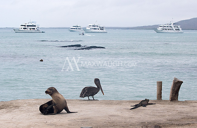 Three of the common Galapagos species hanging out together: sea lion, pelican and marine iguana.