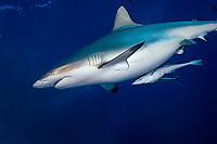 grey reef shark, Carcharhinus amblyrhynchos, pregnant female with remoras, Rangiroa, Tuamotu Islands, French Polynesia