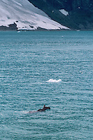 Moose swimming in Tarr Inlet<br />