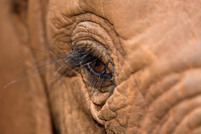 Closeup of an elephant eye.