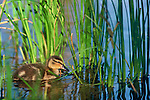 A mallard duckling (Anas platyrhynchos) swims among the grasses in a lake in Rocky Mountain National Park, Colorado.