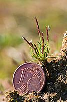 Zwerggras, Zwerg-Gras, Sand-Zwerggras, Sandzwerggras, Mibora minima, Agrostis minima, Chamagrostis minima, Chamagrostis verna, Mibora verna, early sandgrass