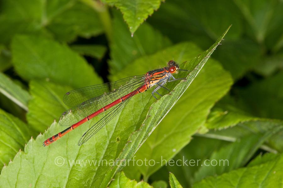 Frühe Adonislibelle, Frühe Adonis-Libelle, Männchen, Pyrrhosoma nymphula, Large Red Damselfly, La Petite Nymphe au corps de feu