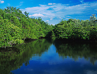 Mangrove forest at high tide, J. N. Ding Darling National Wildlife Refuge, Sanibel Island, Florida, USA