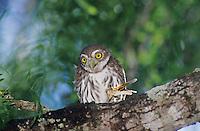 Ferruginous Pygmy-Owl, Glaucidium brasilianum, young eating grasshopper, Willacy County, Rio Grande Valley, Texas, USA, June 2004