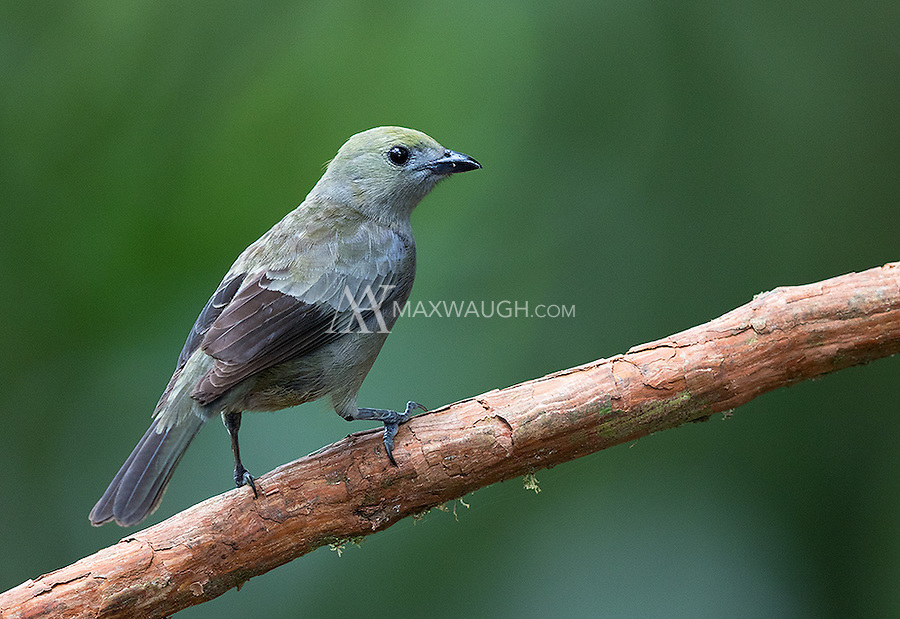 The Palm tanager was another bird that showed up at a feeding station for my tour group.