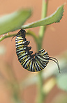 15883-HL Caterpillar of Monarch Butterfly, Danaus plexippus, attached to leaf, about to become a chrysalis, in September at Bakersfield, CA USA