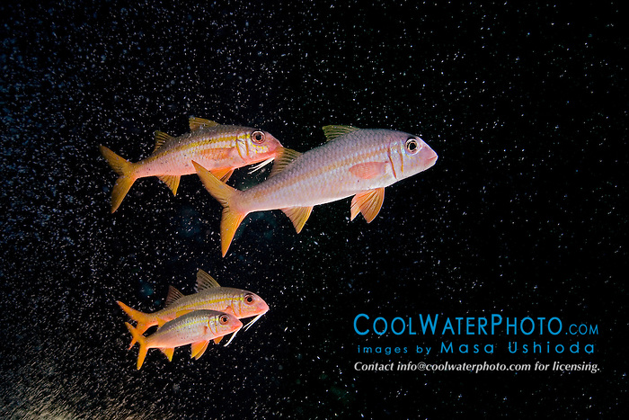 Yellowfin Goatfish, Mulloidichthys vanicolensis, feeding on plankton gathered over HID lights, off Kona Coast, Big Island, Hawaii, Pacific Ocean