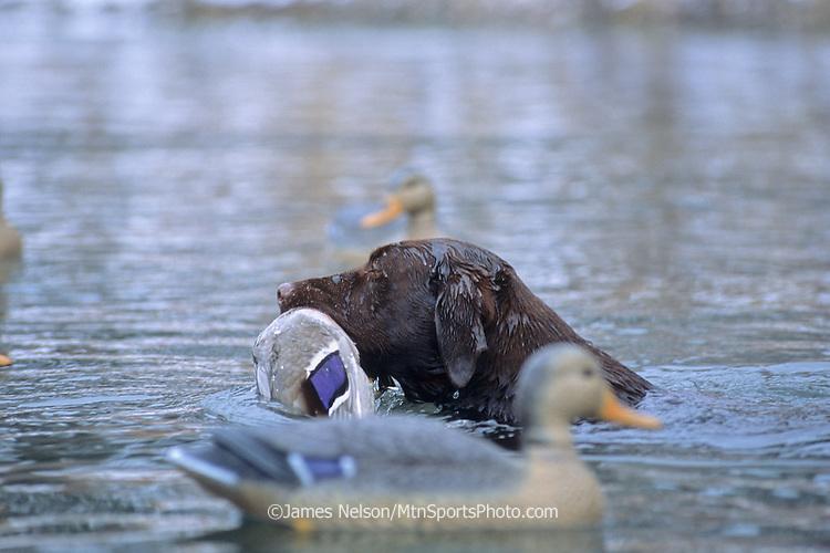 34-687. A chocolate Labrador retriever with a mallard on the Snake River, Idaho.