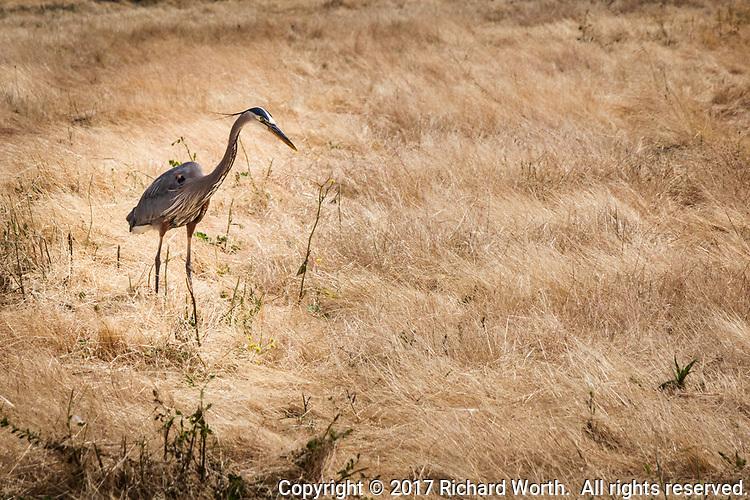 A Great Blue Heron hunts in a field at the MLK Regional Shoreline.