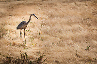 A Great Blue Heron hunts in a field at the MLK Regional Shoreline.