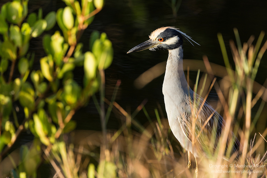 Ding Darling National Wildlife Refuge, Sanibel Island, Florida; an adult yellow-crowned night heron forages for food in the shallow water along the edge of the mangroves, in early morning sunlight