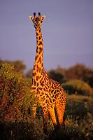 Masai Giraffe (Giraffa camelopardalis) Serengeti National Park, Tanzania.