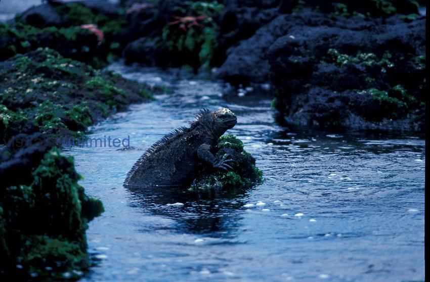 Marine Iguana ,Amblyrhynchus cristatus,
