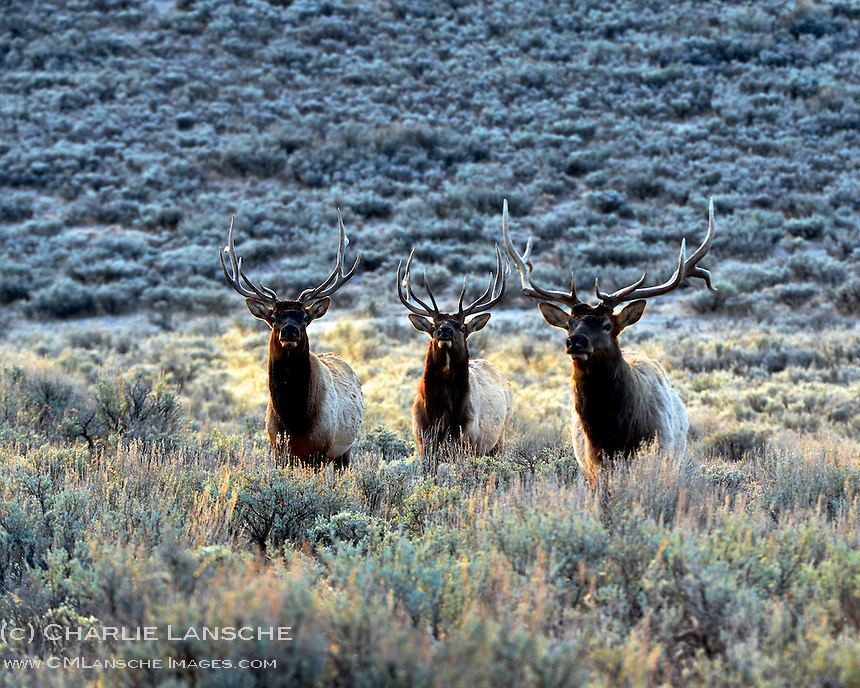 "I caught this  ""bachelor"" group of bull elk at first light on a crisp November morning as they moved from open sage, where they had been feeding all night, into the forest for daylight cover.  These guys will stay together most of the winter before dispersing in the spring. Summit County, Utah.  November 2012."