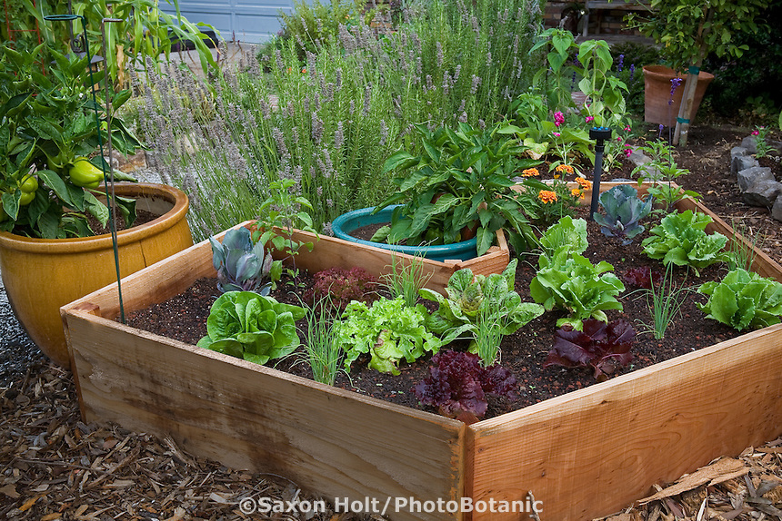 Wooden raised bed with lettuces in front yard edible landscape, organic vegetable garden