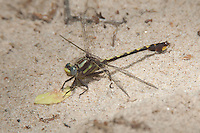 Cocoa Clubtail (Gomphus hybridus) Dragonfly - Male, River Bend WMA, East Dublin, Laurens County, Georgia