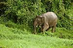 Borneo Pygmy Elephant (Elephas maximus borneensis) female in secondary lowland rainforest, Kinabatangan River, Sabah, Borneo, Malaysia