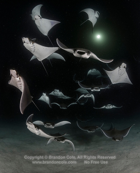 TW2280-D. Smoothtail Mobula Ray (Mobula munkiana) feeding on plankton at night. Also called Munk&Otilde;s devil ray and Pygmy Devil Ray. The light colored specks in the water are tiny shrimp-like crustaceans, a type of zooplankton (animal plankton, as opposed to phytoplankton which is plant plankton) attracted to the light above and a favorite food of mobulas and manta rays. The ray swims into a clould of plankton with its mouth wide open. The cephalic lobes help to divert the water containing the plankton into the mouth of the manta. The food is then caught on rough, comb-like gill rakers. Baja, Mexico, Sea of Cortez, Pacific Ocean.<br /> Photo Copyright &copy; Brandon Cole. All rights reserved worldwide.  www.brandoncole.com