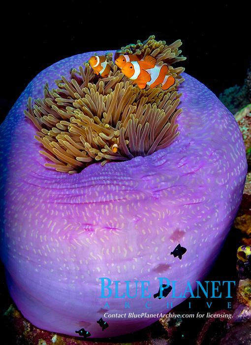 ocellaris clownfish, false percula clownfish, or common clownfish, Amphiprion ocellaris, family in its host, magnificent sea anemone, or Ritteri anemone, Heteractis magnifica, Serbete, East Nusa Tenggara, Lesser Sunda Islands, Indonesia, Pacific Ocean